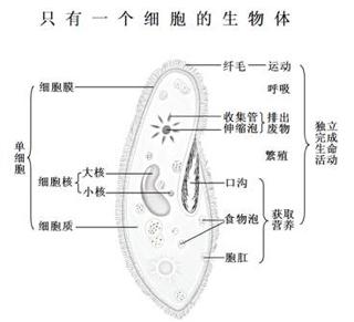 植物细胞结构图怎么画