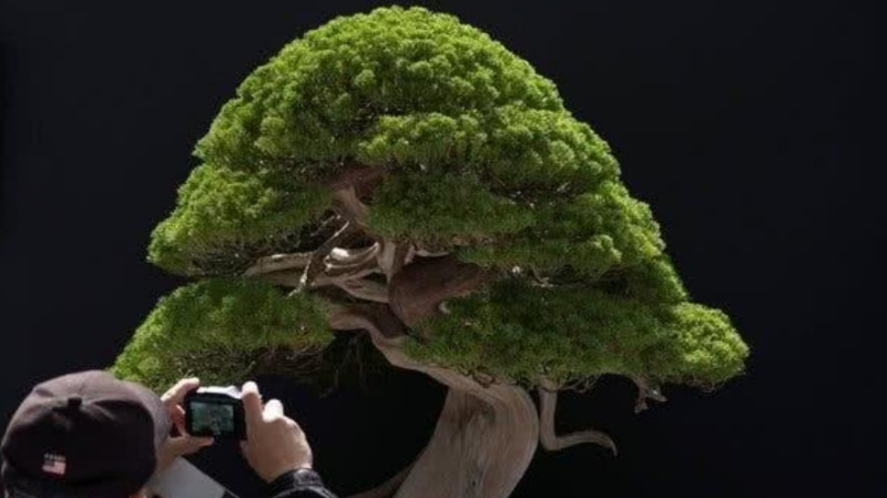 为什么盆景里的植物明明有参天大树的样子,却长的那么小呢?