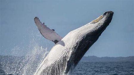 大白鲨的身体上为什么不像鲸鱼一样,寄生着大量的藤壶?的头图