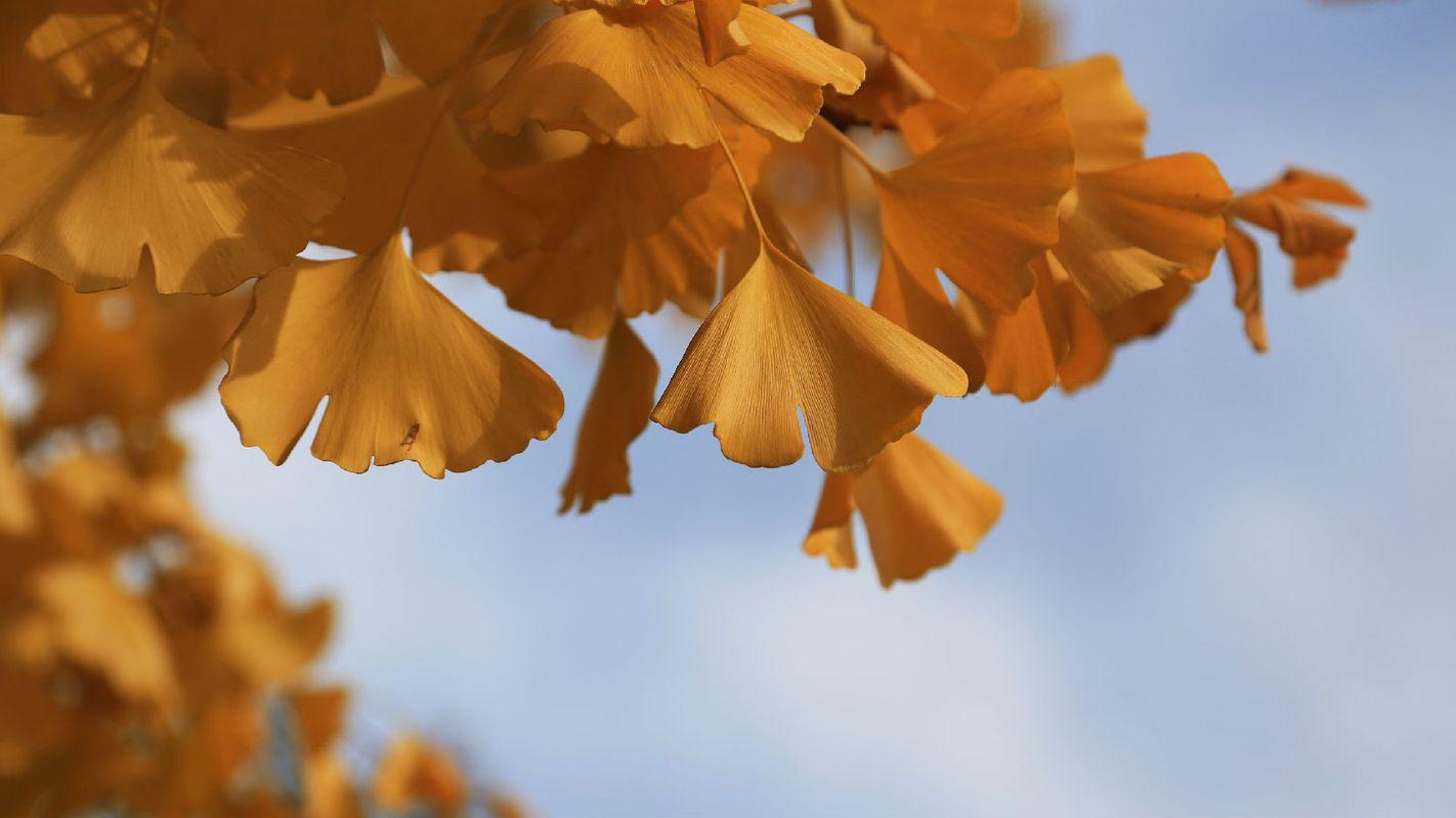 金黄的银杏树叶图片