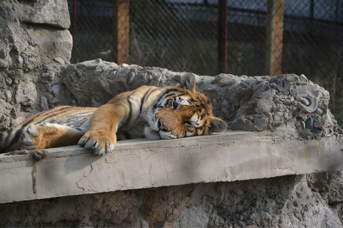 好萌的小老虎图片
