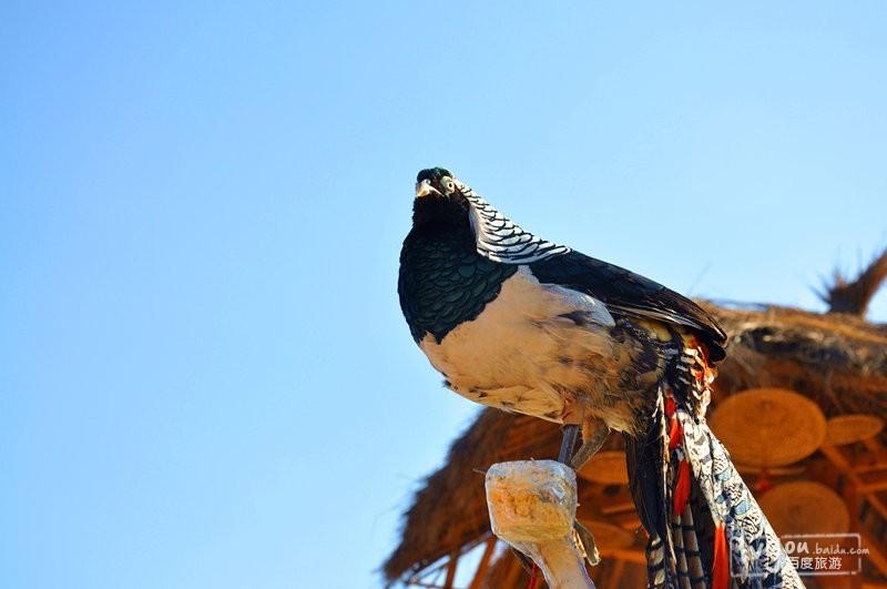 美国男人的鸟_猎鹰是丽江纳西族男人的最爱,鹰可以翱翔天空,就像是我崇尚的自由.
