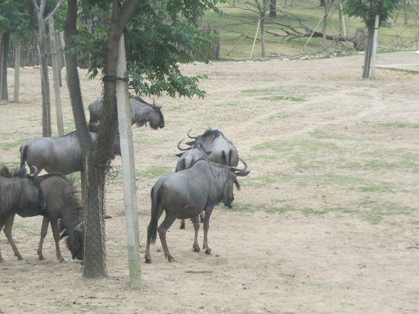 动物园非洲野牛