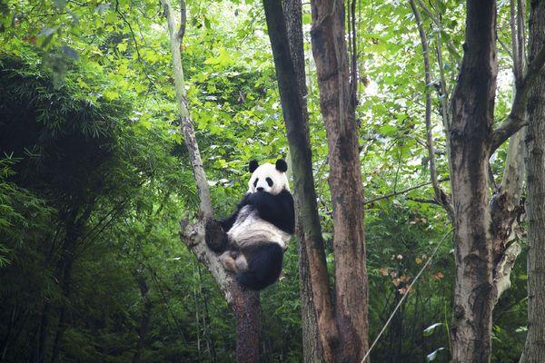 壁纸 大熊猫 动物 风景 森林 桌面 600_400
