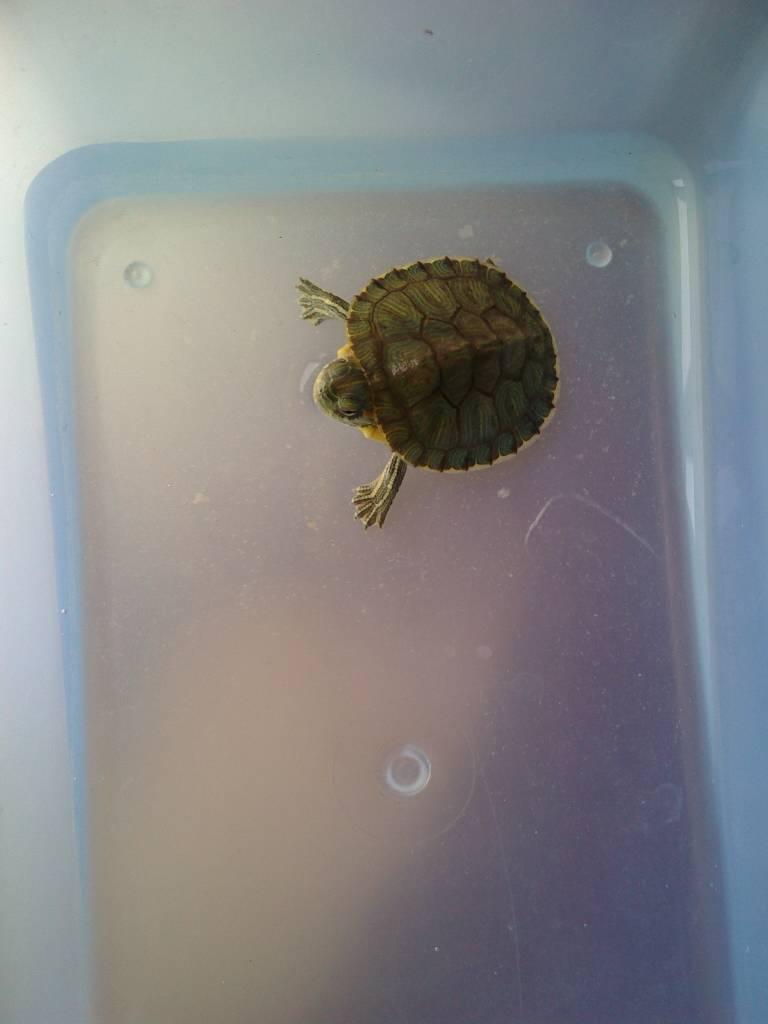 软是怎么回事_我家小乌龟身体软软的这是怎么回事啊?