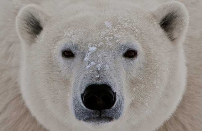 北极熊冬眠?_百度知道仓鼠全集图片大衣服图片