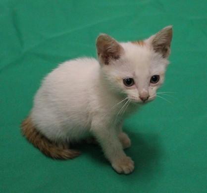 求鉴定这只可爱的猫猫是什么品种?本地土猫?