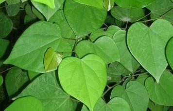 心形的叶子,长了豆荚,叫什么名字?