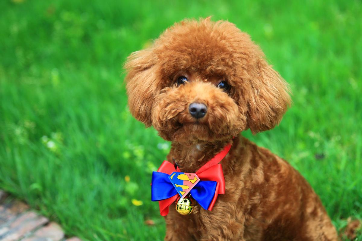 泰迪犬的可爱图片