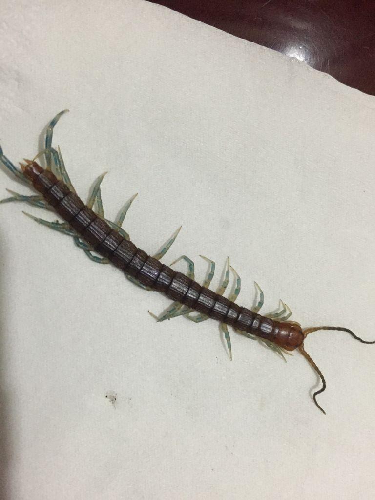 这蜈蚣有毒吗?脚都是蓝绿色的(家里水兜里发现的