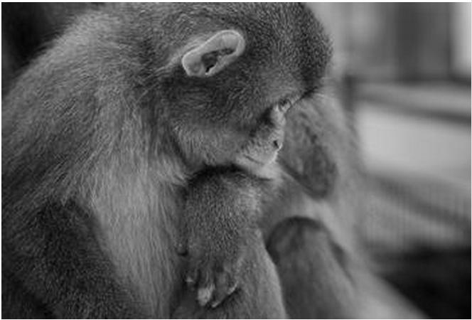 猴子伤心难过的图片