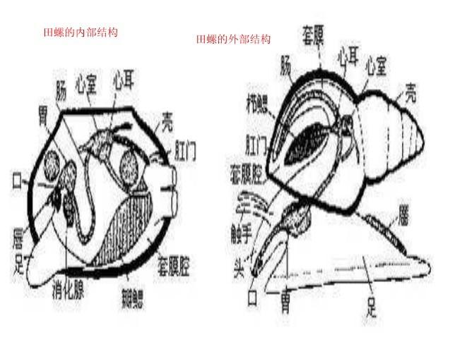 谁知道 田螺结构的详细资料和图片