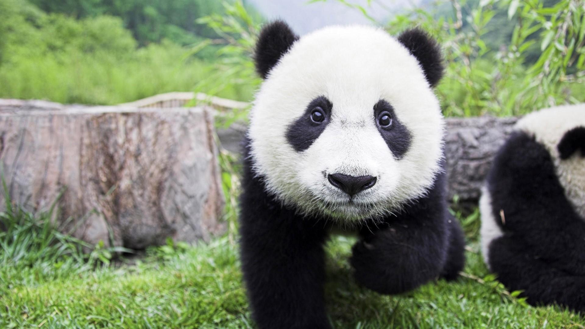 大�y�9�%9�._壁纸 大熊猫 动物 1920_1080
