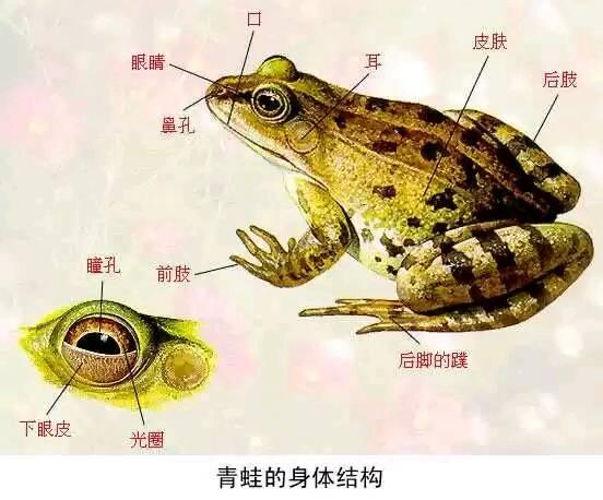 青蛙的背上是绿色的,很光滑,很软,还有花纹,腹部是白色的.