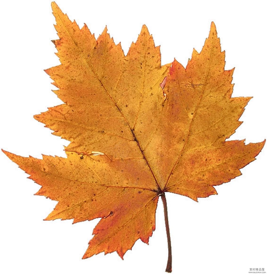干树叶标本制作图片