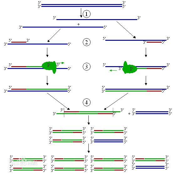 pcr的技术的主要步骤及pcr引物设计的一般原则有哪些