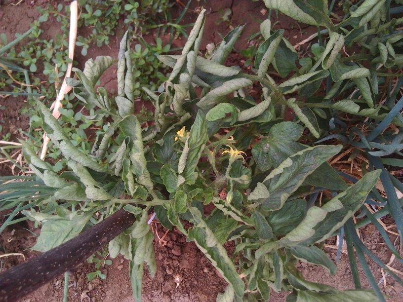 我家的西红柿叶子打卷,这是什么病,需要怎样治疗.有图片