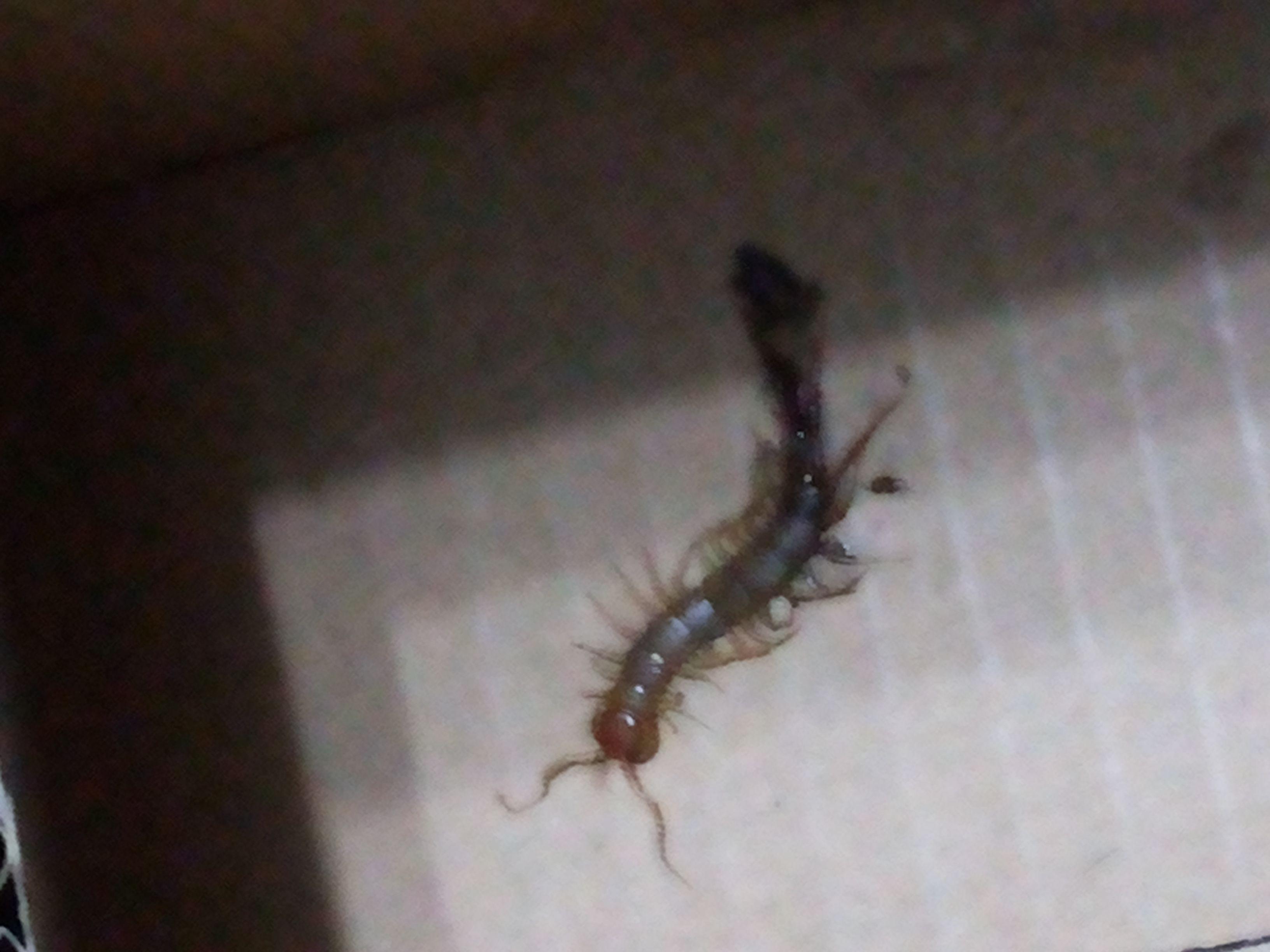 家里发现了很像蜈蚣的虫子这是什么