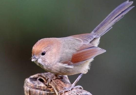 野生鸟比麻雀小,是什么品种,叫什么名字?