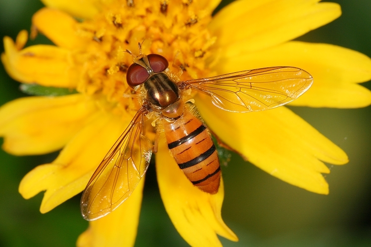 告诉我下这是什么虫子是蜜蜂还是苍蝇,-_-我以为是蜜蜂就用剪子给夹住