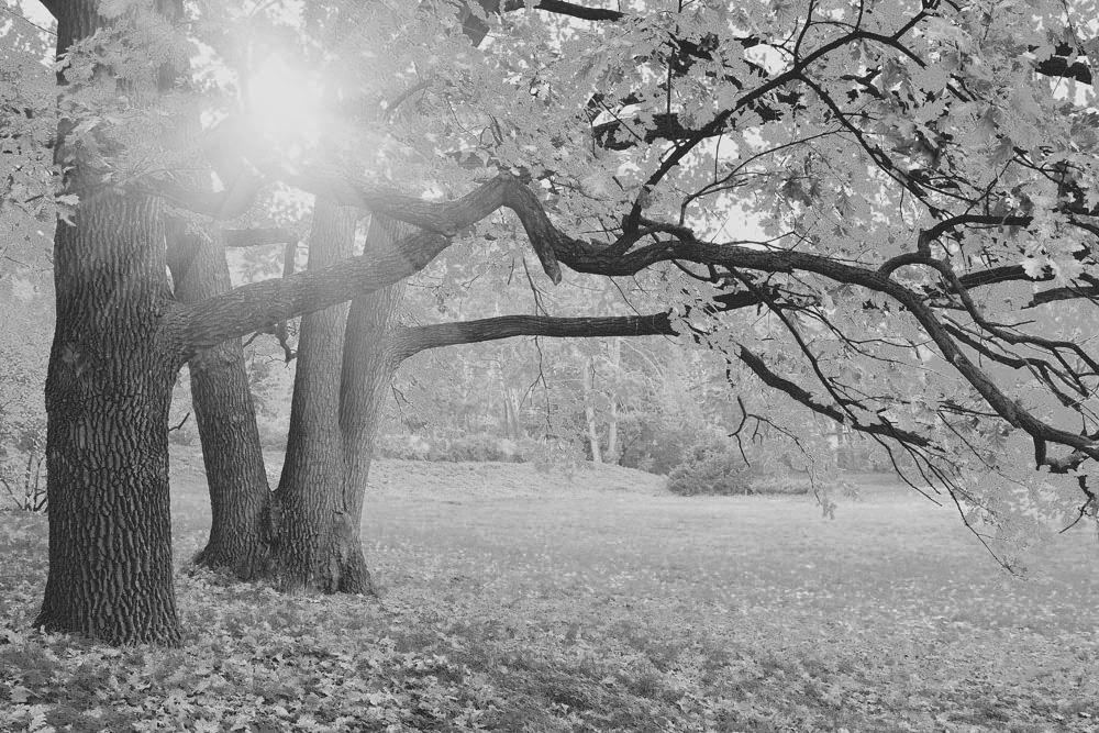 求一张秋天大树落叶的黑白照片.