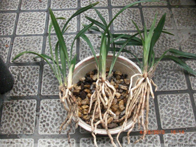 看叶子不好辨别,麦冬的叶子和兰花很像,最主要的是看根部,下面是兰花图片