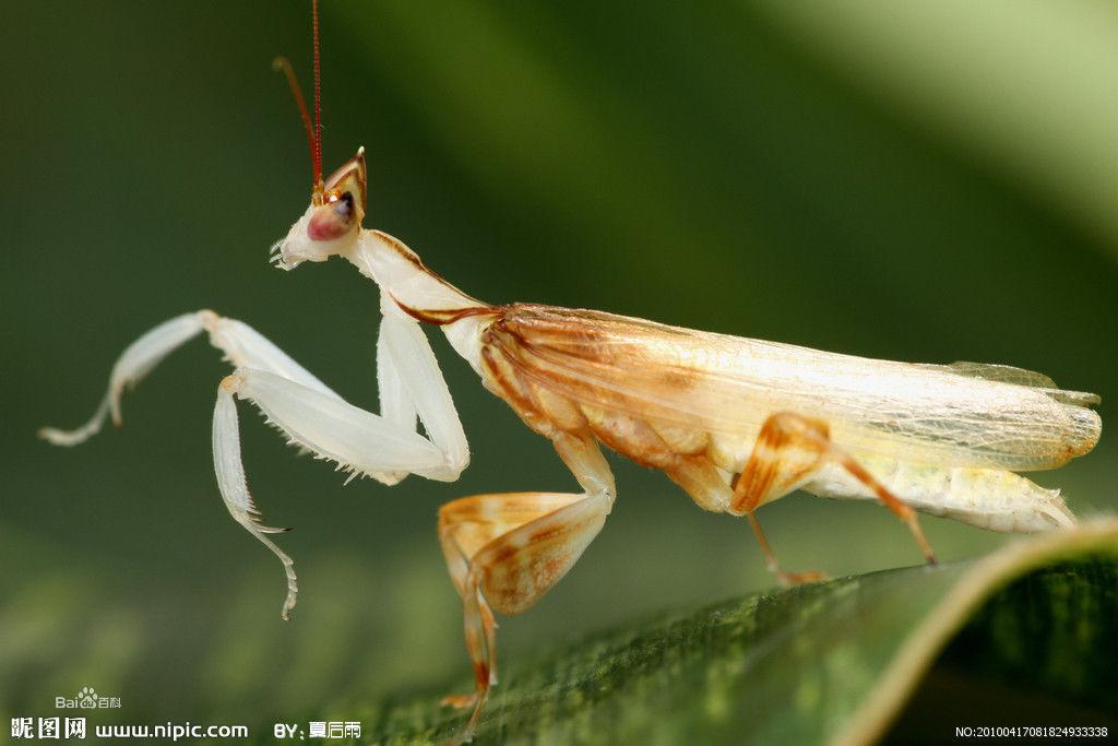 螳螂是肉食性昆虫,猎捕各类昆虫和小动物,在田间和林区能消灭不少害虫