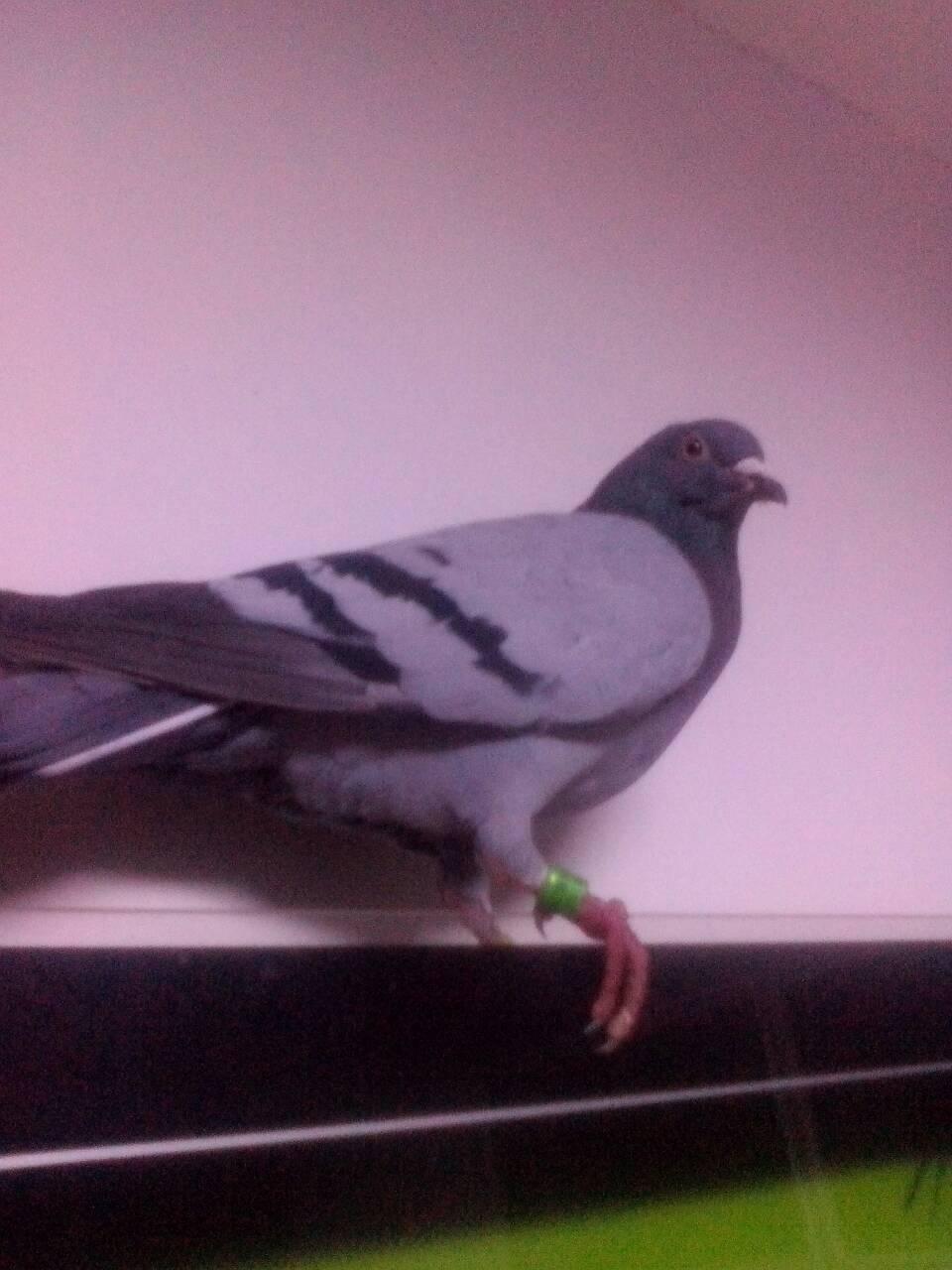 刚刚抓的一只鸽子高手上翅膀,脚环是chn2011-22-1190849请养鸽印章给蜗牛分不分雄雌图片