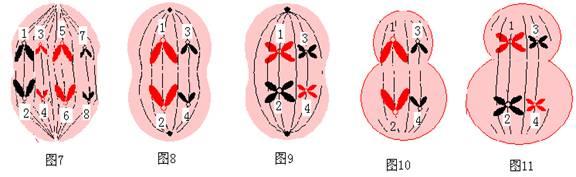 已含4条染色体的动物细胞为例,画图示意细胞减数分裂第一次分裂的后期