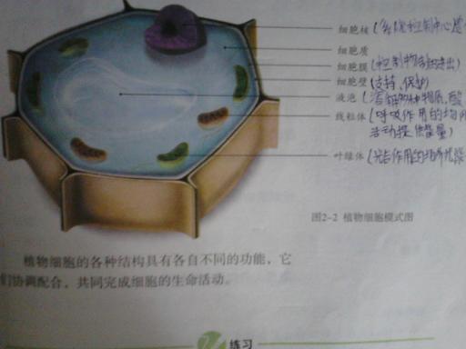 画动物细胞和植物细胞结构图