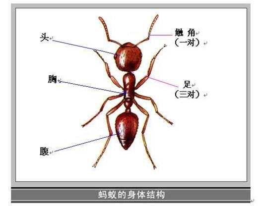 请你教我画一只蚂蚁吧!并标出身体各部的名称