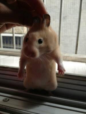 谁有可爱仓鼠图片