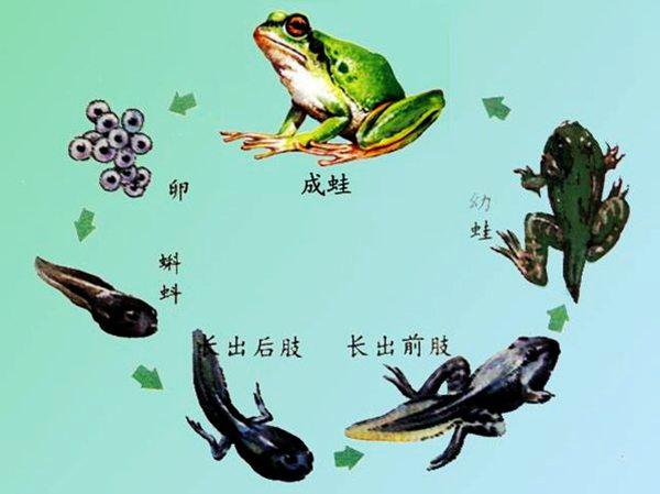 一年级语文小蝌蚪变青蛙过程,看图写话