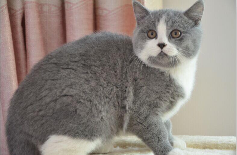 英�y��z)�iX^K��ZJ~XZ_英短蓝猫和蓝白英短是一个品种吗