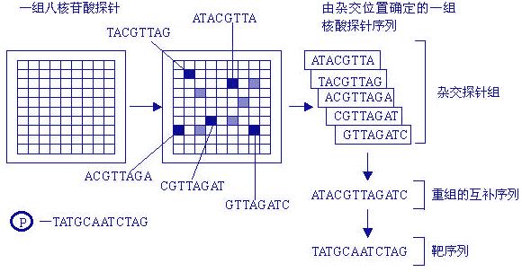 DNA芯片又叫做基因芯片(gene chip)或基因微阵列(microarray),寡核酸芯片,或DNA微阵列,它是通过微阵列技术将高密度DNA片段阵列以一定的排列方式使其附着在玻璃、尼龙等材料上面。由于常用计算机硅芯片作为固相支持物,所以称为DNA芯片。  DNA芯片又叫做基因芯片(gene chip)或基因微阵列(microarray),寡核酸芯片,或DNA微阵列,它是通过微阵列技术将高密度DNA片段阵列以一定的排列方式使其附着在玻璃、尼龙等材料上面。由于常用计算机硅芯片作为固相支持物,所以称为DNA