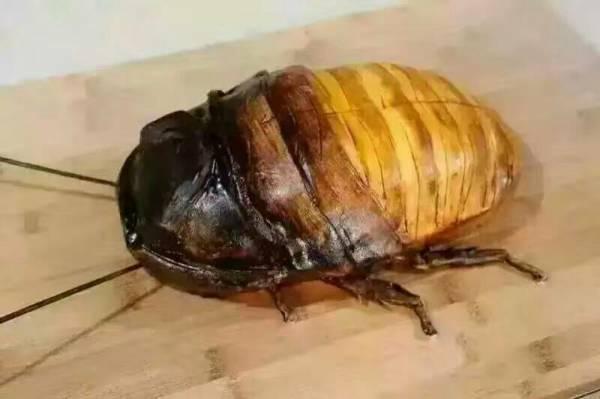 侏儒马岛�yh�:%��_3条回答  在中国叫侏儒马岛发声蟑螂,英文名好像是叫dwarf hisser来着