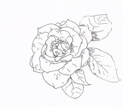 求牡丹花 素描
