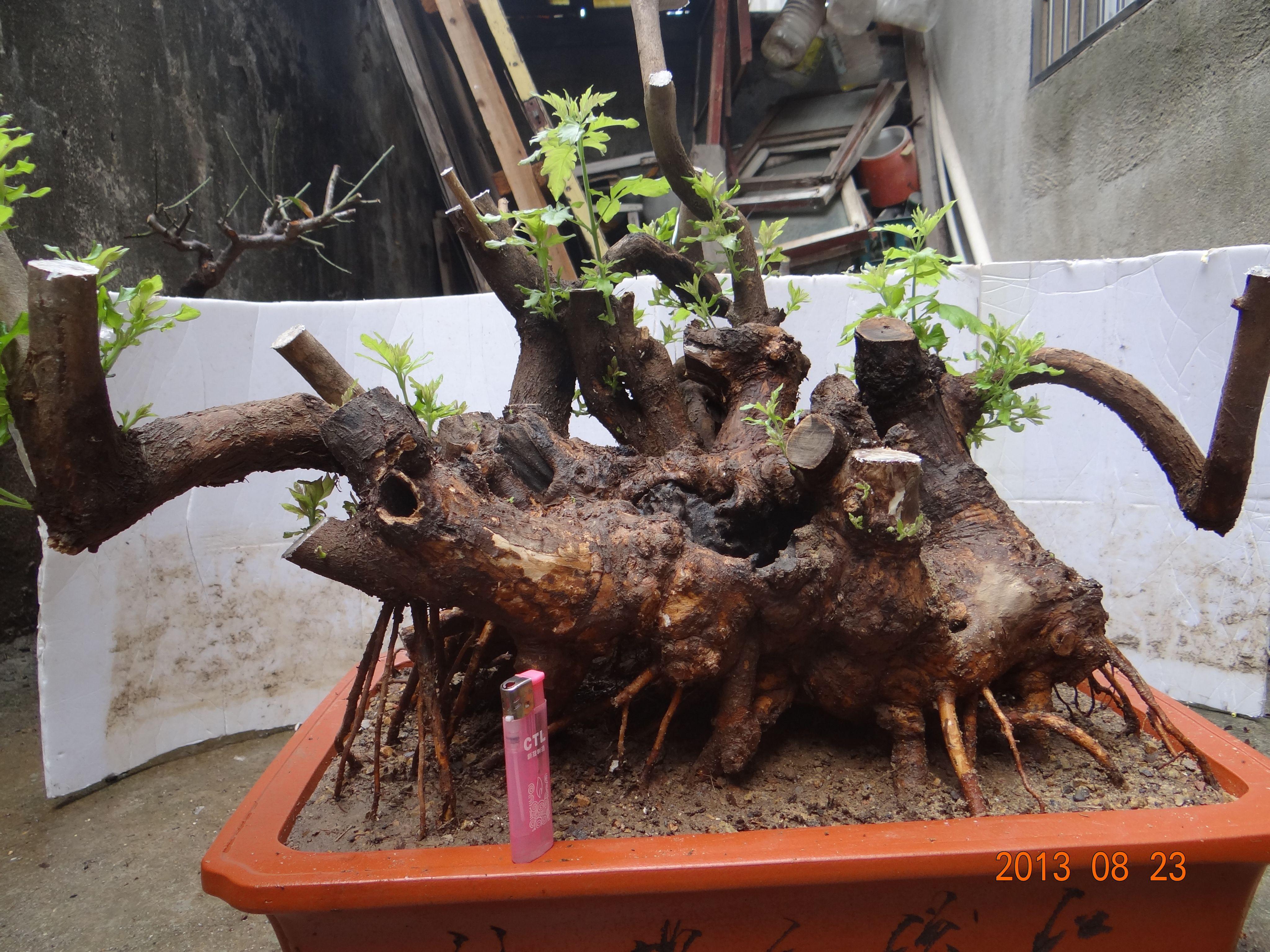 盆景 盆栽 植物 4095_3071图片