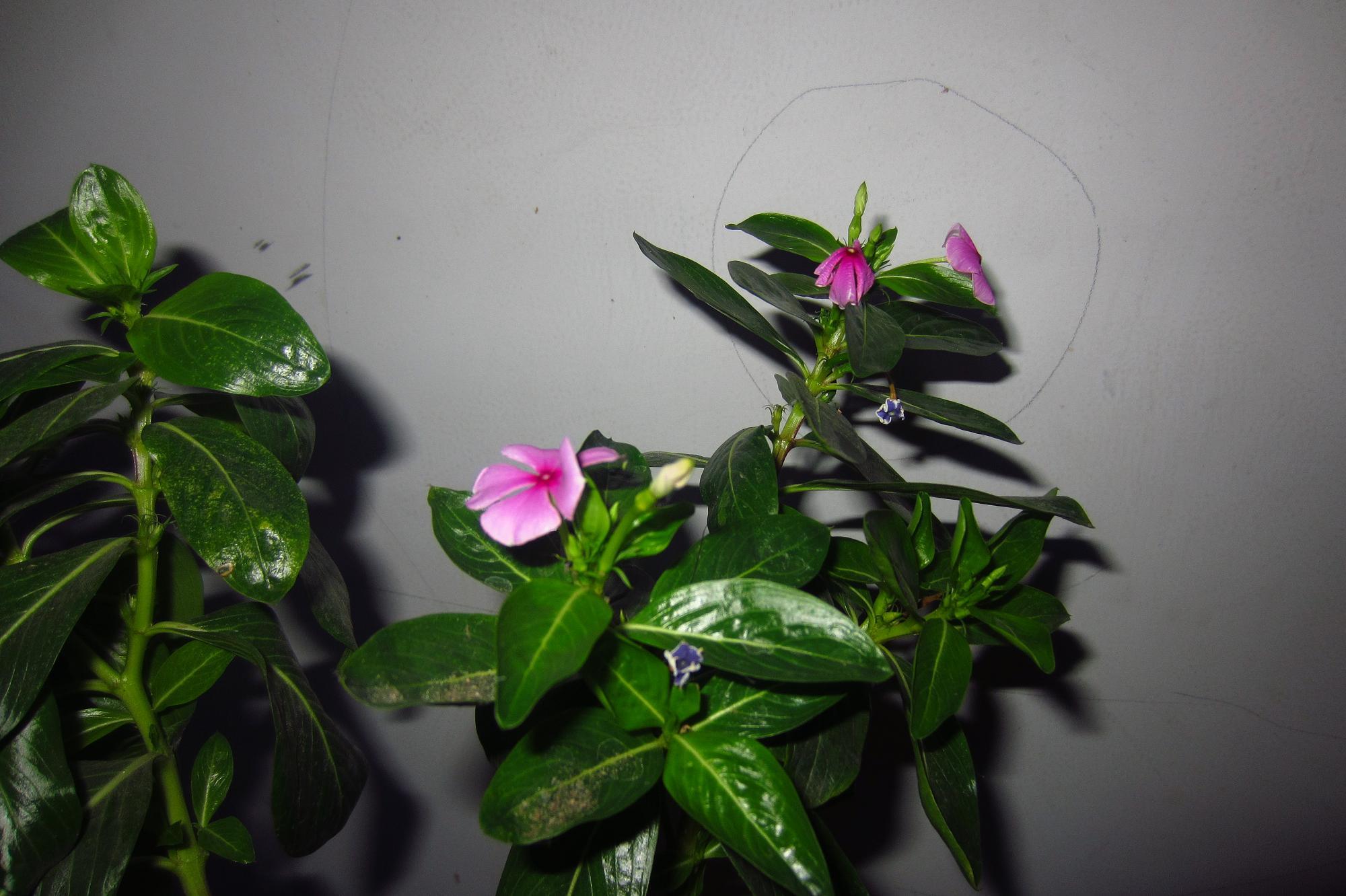 精选家养花卉138种的介绍