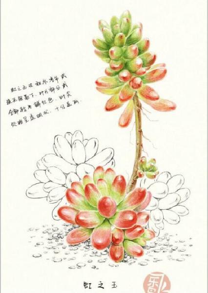 多肉植物虹之玉,彩铅绘制步骤如下(图片来源飞乐鸟): 注意事项: 1
