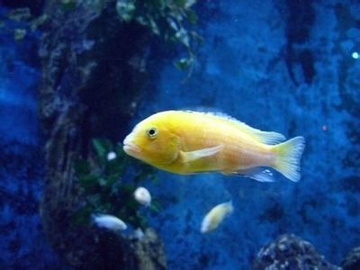 山嵛�_人工培育的 慈鲷科    cichlidae     镊丽鱼属 labidochromis
