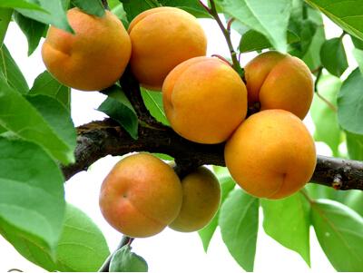 石榴树是不是红杏树