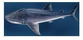 鲸鲨的样子是什么样
