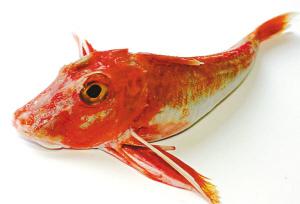 海产鱼_展开全部 这种是【红鲂鱼】的一种,海产鱼 有一种鱼,长相极为丑陋