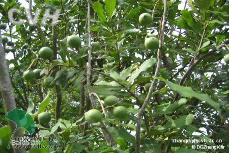 夏威夷果树生长环境是怎样的