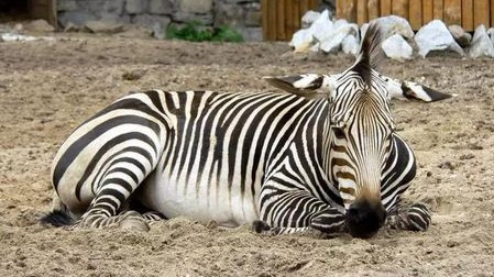 斑马的条纹到底是黑底白条还是白底黑条?的头图