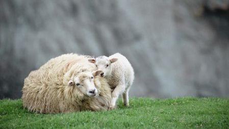 """因为温室效应,新西兰决定培育少""""放屁""""的羊…的头图"""