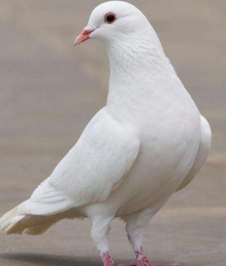 动物鸽鹦鹉鸟牡丹450_528红鸟类鸽子吃多少图片
