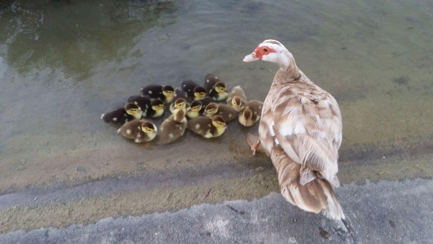 好可爱的母鸭带小鸭.图片
