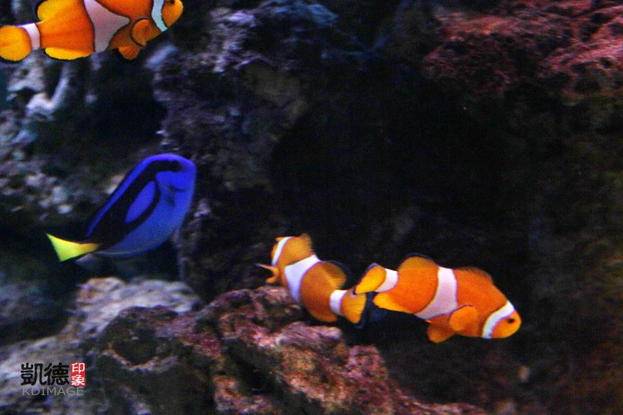 可爱的小丑鱼图片